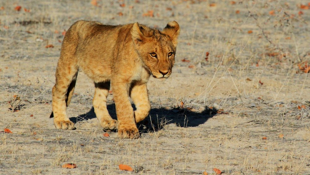 A lion cub going for a stroll