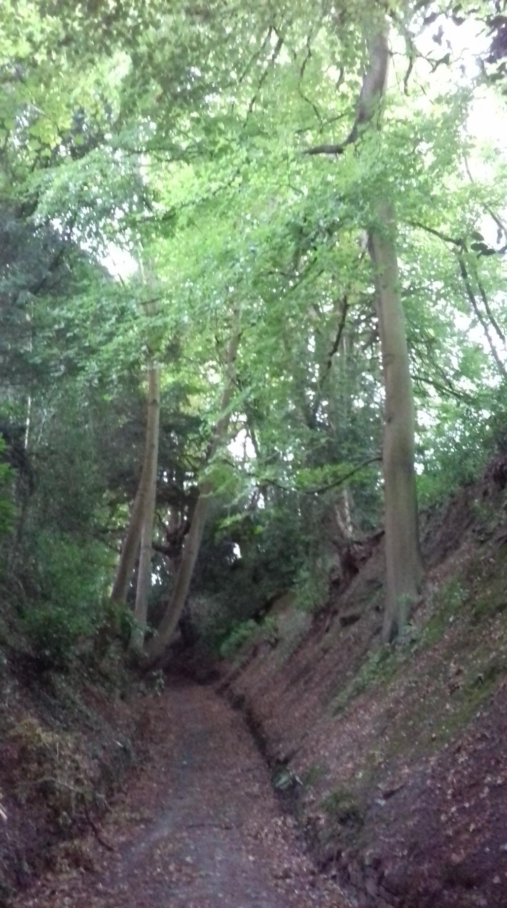 Tall beech trees along a woodland path