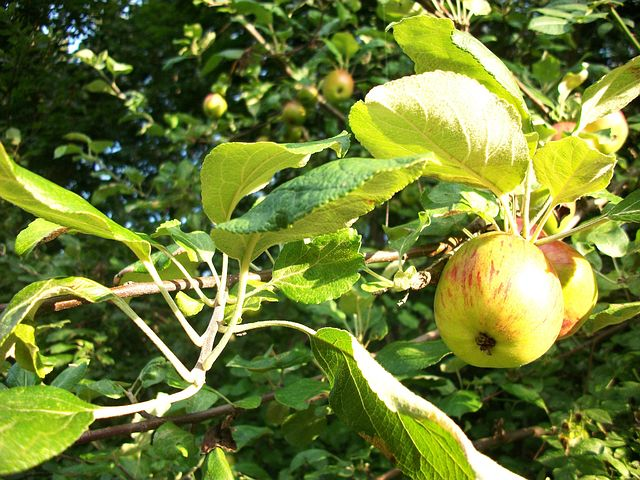 Apples growing in a leafy tree