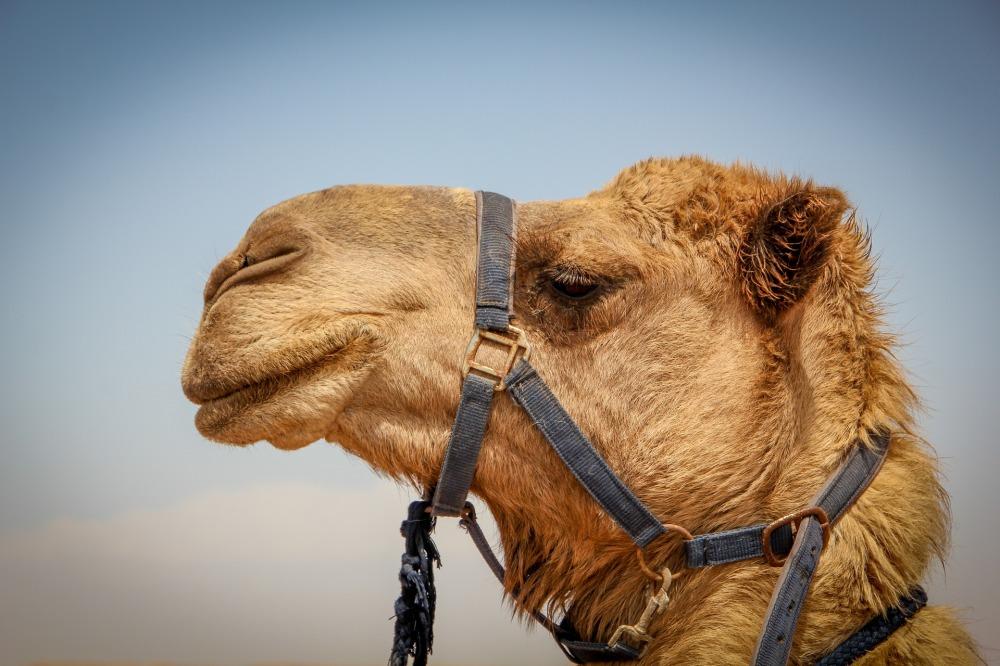 A camel's